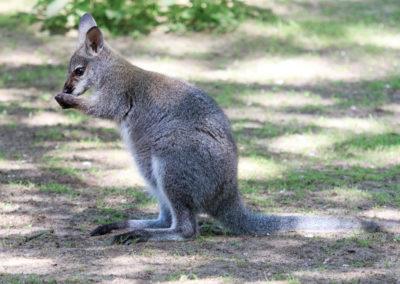 Bennett Känguru
