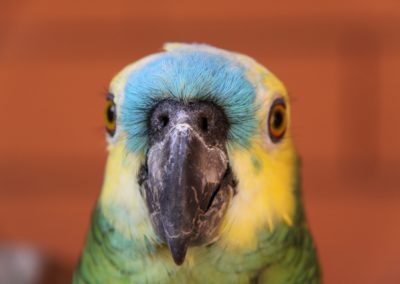Blaustirn Amazone
