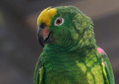 Gelbscheitel Amazone