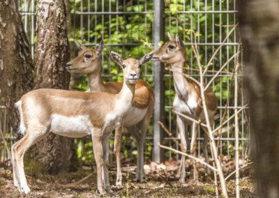 Hirschziegen Antilope